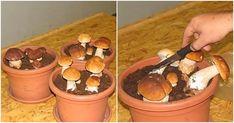 Hubárčenie je vášeň, ale nie vždy sa vám podarí huby nájsť. Samozrejme, ide aj o peknú prechádzku lesom. Ale čo by ste povedali na to, keby ste si teraz mohli huby vypestovať doma v kvetináči? … Lawn And Garden, Ale, Stuffed Mushrooms, Pudding, Desserts, Gardening, Inspiration, Balcony, Stuff Mushrooms