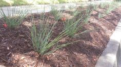 A tough and low maintenance native grass prefect for mass planting due to the structure of its foliage. Lomandra, Planting, Gardening, Native Australians, Australian Plants, Native Plants, Garden Inspiration, Nativity, Grass