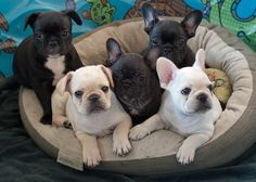 'Ebony and Ivory, French Bulldog Puppies