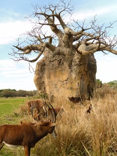 The baobab tree (Adansonia digitata) is a common sight in Malawi's varied and lush landscape. Standing sentinel, the trees seem ancient, immovable landmarks that connect the present with the past. Not necessarily beautiful, the trees look odd, even upside down, as their often bare limbs stretch out like a complicated root system.