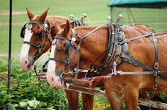 Amish-owned horses waiting to take their owners home in Charm, Ohio