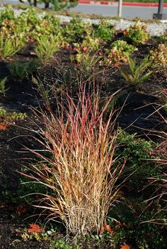 pics of shenandoa switch grass | Shenandoah Switch Grass | Grasses for the Garden