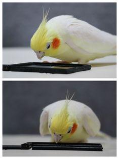 my lovely birds: Photo Cockatiel, Cute Birds, Exotic Birds, Parrots, Hawaii, Cute Animals, Prince, Wall Art, Pets