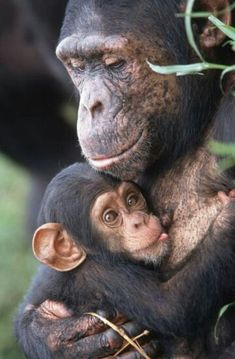 Precious mother and baby chimpanzees