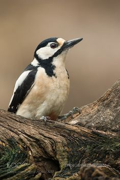 Great spotted woodpecker by Rob_Janne