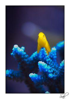 gobi fish on blue coral
