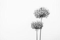 https://flic.kr/p/swRJtQ | Sensitive Allium (1)