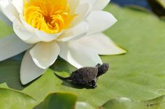 small turtle on water lily leaf (Nymphaea alba) Poster. Small Turtles, Lily, Leaves, Poster, Products, Yule, Lilies, Posters, Billboard