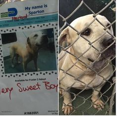 FL...LAST CALL! LAST CALL! LAST CALL! Sparton 3 yo am bulldog neutered and ready to go! A Staff favorite, very sweet boy. Now past due and urgent#A16633551 at MDAS — hier: Miami Dade County Animal Services. https://www.facebook.com/urgentdogsofmiami/photos/pb.191859757515102.-2207520000.1418404031./887908197910251/?type=3&theater