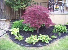 Image result for plant hostas around a red leaf lace japanese maple tree