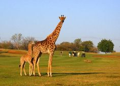 Golfing in the wild at Hans Merensky Golf Estate, Mpumalanga, South Africa Famous Golf Courses, Public Golf Courses, West Africa, South Africa, St Andrews Golf, Coeur D Alene Resort, Golf Course Reviews, Golf Estate, Coeur D'alene