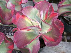 Kalanchoe thrysiflora Fantastic