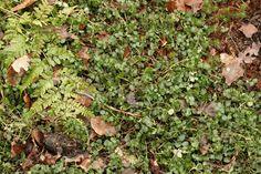 Mitchella repens (patrijsbes) - hs/schaduw 5 cm mei wit/roze