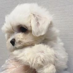 Male maltese puppies Cute mini maltese puppy Source by lowellteacuppuppies The post Cute mini maltese puppy appeared first on Calvert Kennels. Cute Small Dogs, Super Cute Puppies, Baby Animals Super Cute, Cute Baby Dogs, Cute Little Puppies, Cute Dogs And Puppies, Cute Little Animals, Cute Funny Animals, Baby Cats