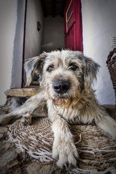 i love scruffy dogs. Love My Dog, Baby Dogs, Pet Dogs, Dog Cat, Doggies, Pet Pet, Animal Gato, Mundo Animal, Beautiful Dogs