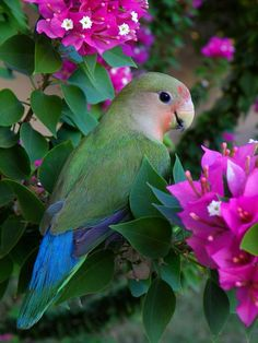 peach-faced love bird in the garden