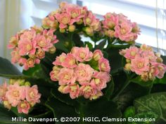 The pink, double flowering variety of kalanchoe (Kalanchoe blossfeldiana) may have as many as 26 petals per bloom.