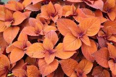 Colorblaze Keystone Kopper, a new for 2012 coleus from Proven Winners.