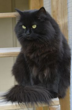 My black Siberian cat, Lovely Kerstin!