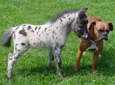 boxer and spotted mini horse - my idea of perfect housepets!