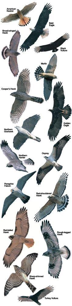 Hawk Species at Hawk Mountain | Hawk Mountain Sanctuary: Raptor Conservation, Education, Observation & Research