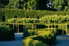 Harpur Garden Images Ltd :: Low meandering wavy lined hedges dividing path, pleached trees in row taller hedge behind with arches cut in good design pattern structure Platanus x hispanica Alnwick Castle, Northumberland The Serpent Garden Jerry Harpu Plane Tree, Alnwick Castle, Low Maintenance Garden, Garden Images, Garden Inspiration, Garden Ideas, Topiary, Hedges, Evergreen