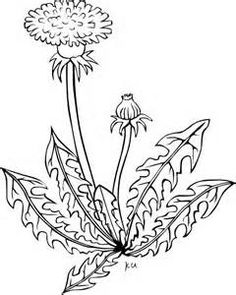 830 Dandelion Flower Coloring Pages Images Dandelion Color, Dandelion Drawing, Dandelion Flower, Flower Coloring Pages, Coloring Pages For Kids, Coloring Books, Taraxacum Officinale, Art Drawings For Kids, Clip Art