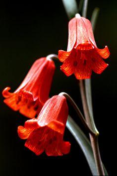 Scarlet Fritillaria (Fritillaria recurva) - Middle Fork of the Feather River near Quincy, Plumas County, California