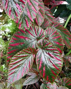 An unknown variety of Begonia.