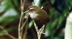 /img/ITIS/Xenicus longipes/bushwren 2