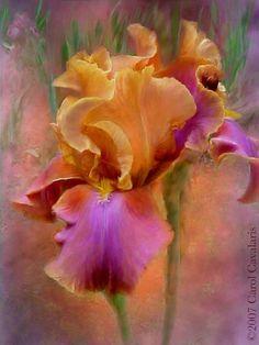 Iris by Brenda Olmsted