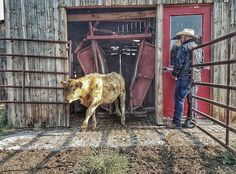 Working cows at @blackfoot_river_ranch  Photo credit: Kirstie Lambert. #blackfootriverranch #helmville #406 #406 #countryliving #familytime #ranchlife #workingcows #cattleranch #workingvacation