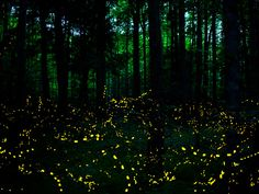 It's the greatest natural show in the Smokies! Every year the synchronous fireflies come to light up the night.