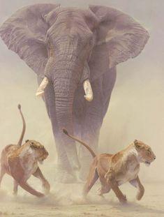 The Africa Elephant (Loxodonta Africana) & The Lion (Panthera Leo) Nature Animals, Animals And Pets, Funny Animals, Cute Animals, Wild Animals, Giant Animals, Nature Nature, Safari Animals, Baby Animals