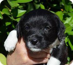Torrance, CA - Maltese/Chihuahua Mix. Meet SOCKS a Puppy for Adoption.