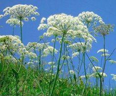 Queen Anne's Lace-----------Danielle's favorite flower :o)
