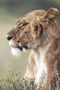 mistymorrning: (via (JPEG Image, 540 × 810 pixels) - Scaled Animals And Pets, Baby Animals, Cute Animals, Mundo Animal, My Animal, Beautiful Creatures, Animals Beautiful, Lioness And Cubs, Lion Love