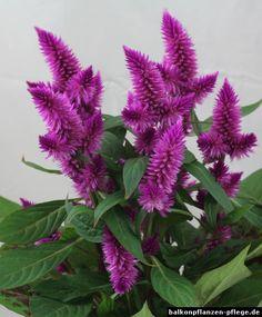 Inspirational Tipps f r die Pflege von Celosia argentea auf dem Balkon Standort und das Gie en D ngen