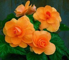 Begonia tuberhybridia - Tuberous Begonia Bulb (Roseform) Apricot - AmeriHybrid®