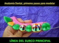 Anatomía Dental, primeros pasos para modelar | Odonto-TV