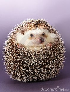 Download Hedgehog Stock Image for free or as low as $0.20USD. New users enjoy 60% OFF. 21,575,553 high-resolution stock photos and vector illustrations. Image: 4851591