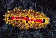Las larvas de la especie Dalceridae