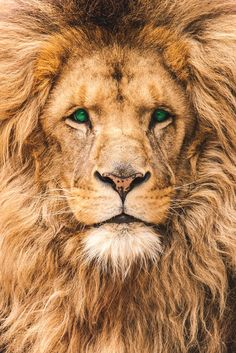 A Lion Looking At You By Martin Kleine | More