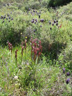 Serapias bergonii vor Lavandula stoechas - Insel Chios