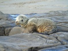 The West Coast Is in Hot Water - Move over polar bears. Are starving sea lion pups the new face of climate change?
