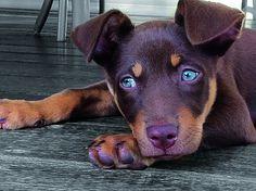 The Doberman Pinscher is among the most popular breed of dogs in the world. Cute Puppies, Cute Dogs, Dogs And Puppies, Doggies, Aussie Puppies, West Highland Terrier, Australian Shepherds, German Shepherds, Doberman Pinscher