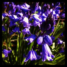 The bluebells are out, hurrah :)