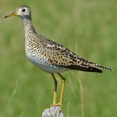 A short drive across the grasslands here in summer will inevitably startle an upland sandpiper from its nest. They flitter away, looking more butterfly than bird. The upland breeds in the Great Plains, but winters in the grasslands of southern South America.