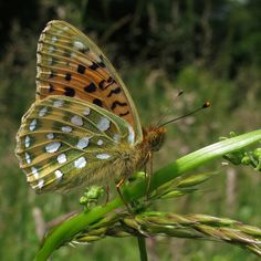 Dark dark green Fritillary(Argynnis aglaia) photographed by Karen Nichols on 21st June 2014. As well as being found throughout Europe it can also be found throughout the middle East and Asia, getting as far east as Korea and Japan.
