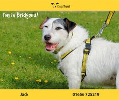 Jack at Dogs Trust Bridgend is a 7 year old Jack Russell. He is a friendly lad and loves to meet new people. He does mix with other dogs, but doesn't like them being in his face.